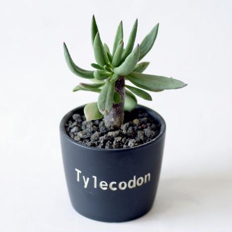 チレコドン レティキュラーツス 万物想 Tylecodon reticulatus