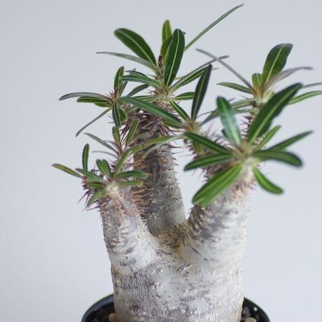 パキポディウム カクチペスPachypodium rosulatum var. cactipes