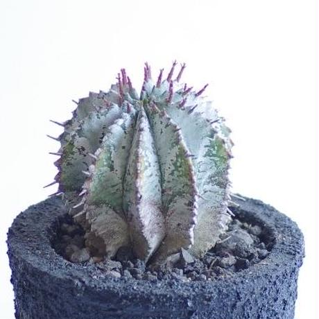 ユーフォルビアホリダ 白衣タイプ  Euphorbia  horrida