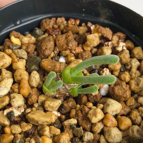 032.モニラリア モニリフォルミス Monilaria moniliformis
