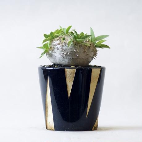 パキポディウム ブレビカウレ 恵比寿笑い Pachypodium brevicaule