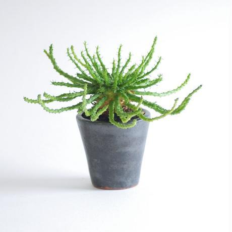 ユーフォルビア フラナガニー 孔雀丸 Euphorbia flanaganii
