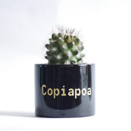 コピアポア マリテマ Copiapoa maritima