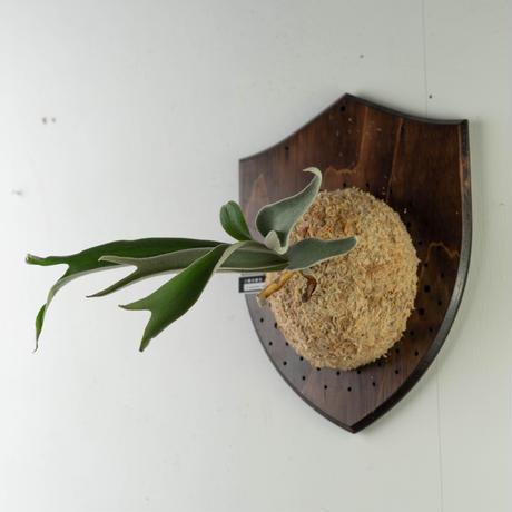 【10/3〜 Plants Session_02】P.veitchii cv auburn river 1_02