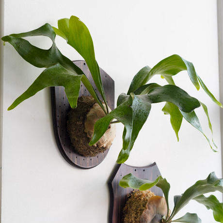 【8/27〜板付ビカクシダ】P.Beautivar x hillii hybrid