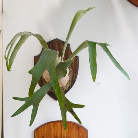 【10/4〜 Plants Session_02】P.Blue venus fl_04