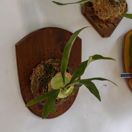 【10/4〜 Plants Session_02】P.bifurcatum Mulford fl_05