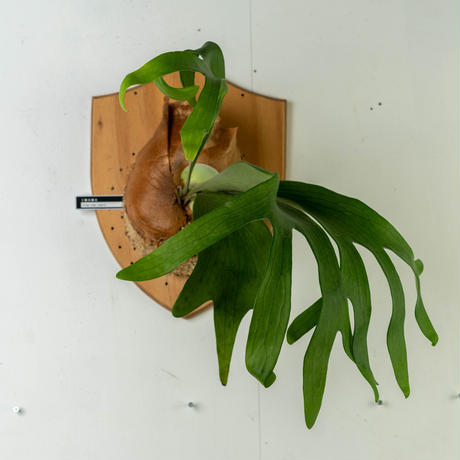 【10/3〜 Plants Session_02】P.Aor Chao (spore) 1_17