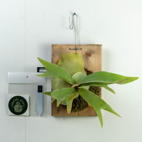 【10/3〜 Plants Session_02】P.White Hawks cp_03