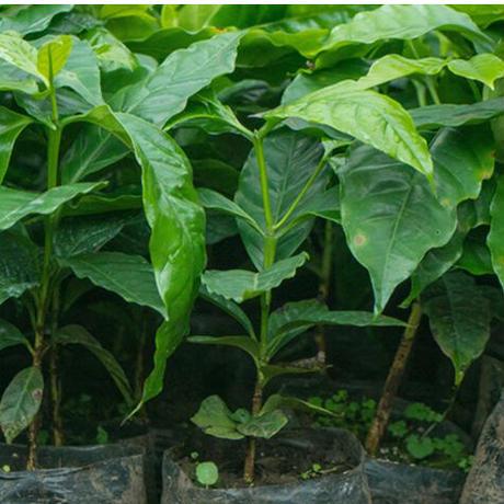 エルサルバドル エル・ゴビアード農園 ナチュラル【中煎り】ご家庭用お得サイズ 豆or粉 250g