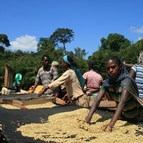 エチオピア (ゲテブ) ウレインチニーチャ集落の農家たち [やや深炒り]