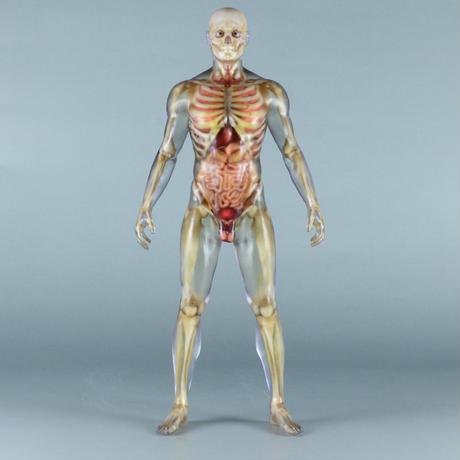 """【12"""" 】立ちポーズ 骨格と器官人体模型 30.5 cm"""