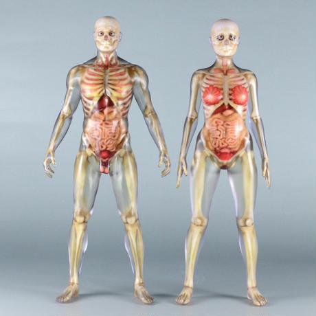 """【9"""" 】立ちポーズ 骨格と器官人体模型 22.9 cm"""