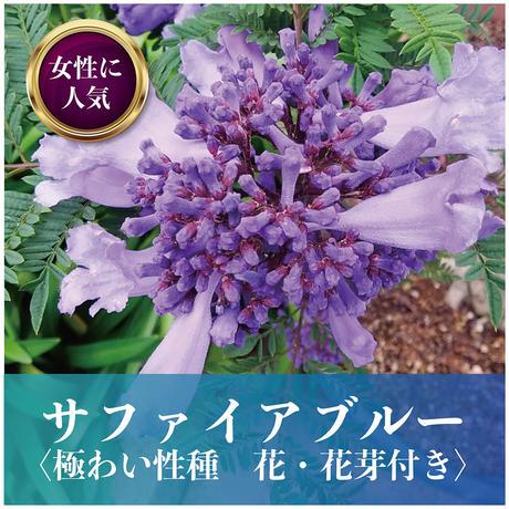 【花・花芽付き】サファイアブルー