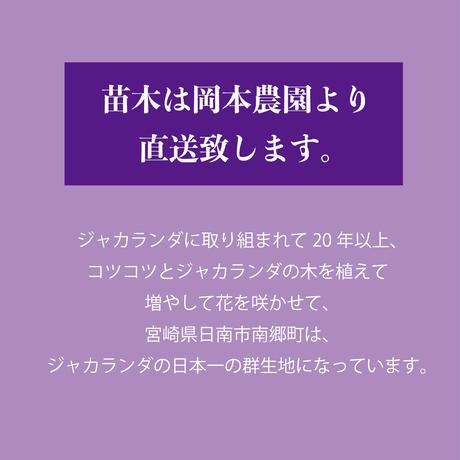 【花・花芽なし】ジャカランダ苗木