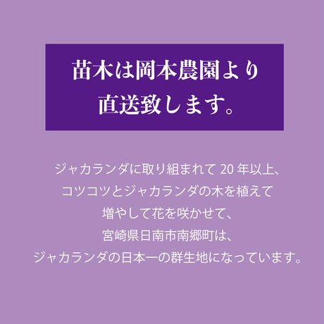 【花・花芽付き】ジャカランダ苗木