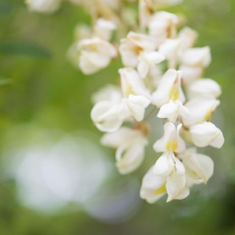 足尾産アカシアハチミツ(非加熱)1,000g