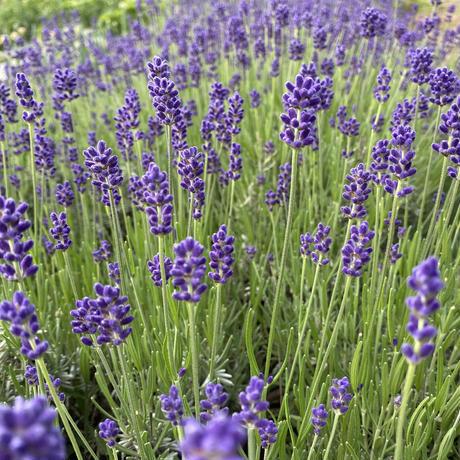 ラベンダードライフラワー 濃紫早咲 150本