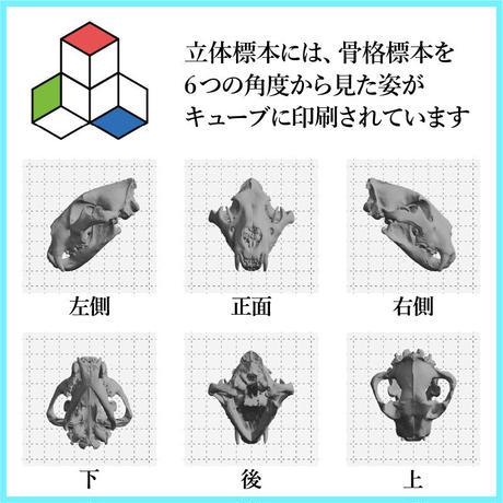 自由研究を博物館の標本でできる!立体標本(ライオン&シマウマセット)