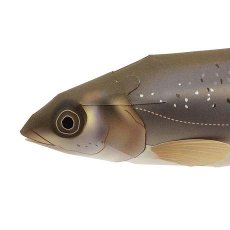 タカハヤ:Rhynchocypris oxycephalus jouyi(紙工作キット)