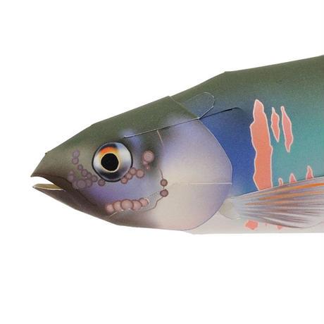 オイカワ:Opsariichthys platypus(紙工作キット)