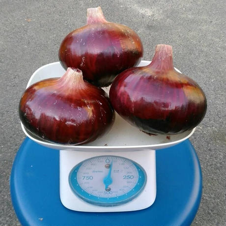 無農薬栽培 泉州赤玉ねぎ 1kg