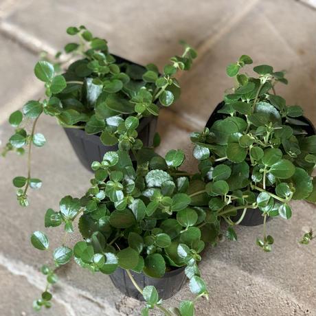 観葉植物 ピレア サンパウロ