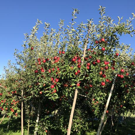 【紅玉】4.5キロ/約18~25玉/全国一律で送料無料/皮ごと食べれるりんご/減農薬/産地直送/お取寄せフルーツ/さわやかな酸味/煮崩れしにくいのでお菓子作りにもお勧め/#復興りんご