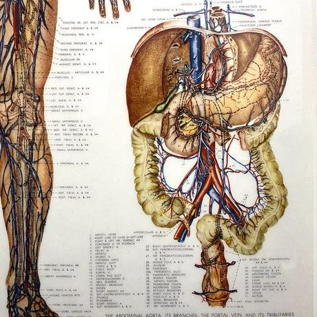 【USED】90'S ANATOMICAL CHART COMPANY POSTER