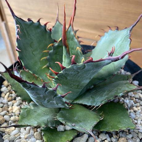 "Agave ""ShawPot"" (shawii x potatorum)"