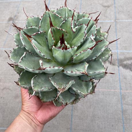 Agave potatorum CUBIC1