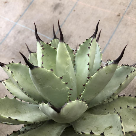 ベアルート Agave ハ荒雷神(macroacantha x potatorum)Ⅰ