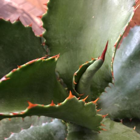 Agave 'Chisum' (colorata x gypsophila)