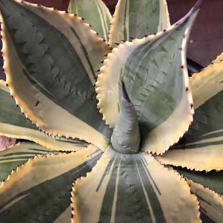Agave Ripple Effect