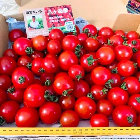 【1番人気】 八ヶ岳産ミニトマト箱込み約1kg こくがあって味濃いめ