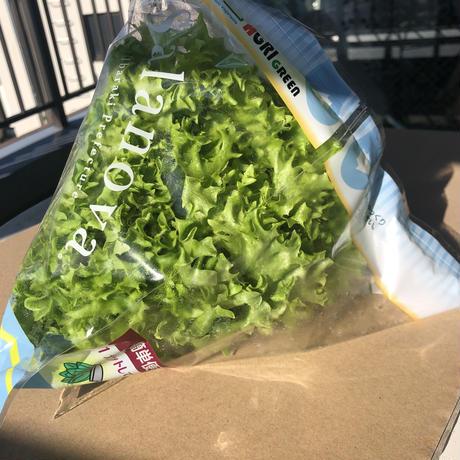 フリルレタス 緑と赤のミックス(13袋、7袋) 茨城県産 計20袋入/箱 無農薬水耕