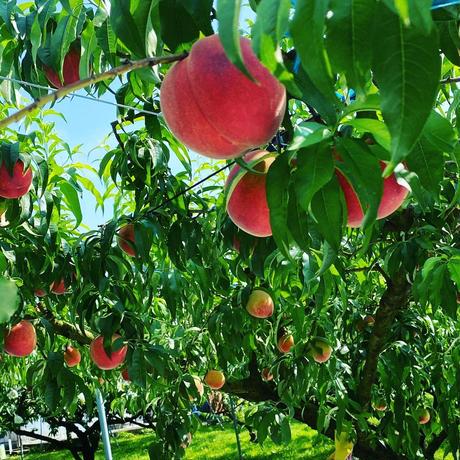 白桃・黄桃とトンカ豆のコンフィチュール