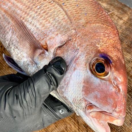 【黒門市場 鮮魚川崎 】天然焼き鯛 小サイズ(約30cm 原型800g)送料無料!