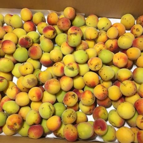 2021年産 紀州和歌山完熟梅 「農薬・肥料不使用の完熟梅」1kg
