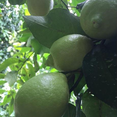 皮まで安心減農薬レモン 1kg