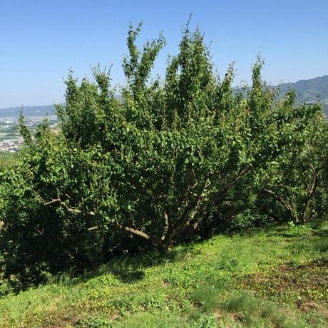 農薬・肥料不使用の青梅 1kg