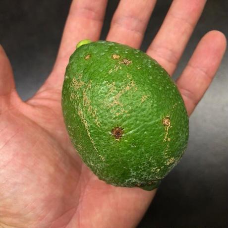 皮まで安心減農薬レモン  (B級品) 1kg