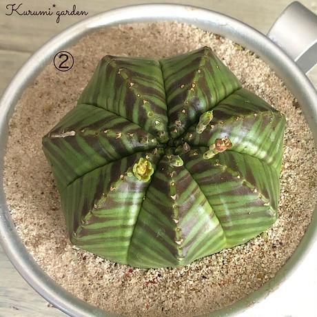 メロフォルミス × バリダ