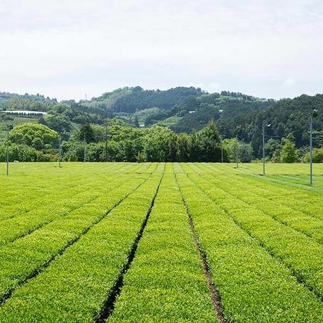 【実生 在来種】粉茶