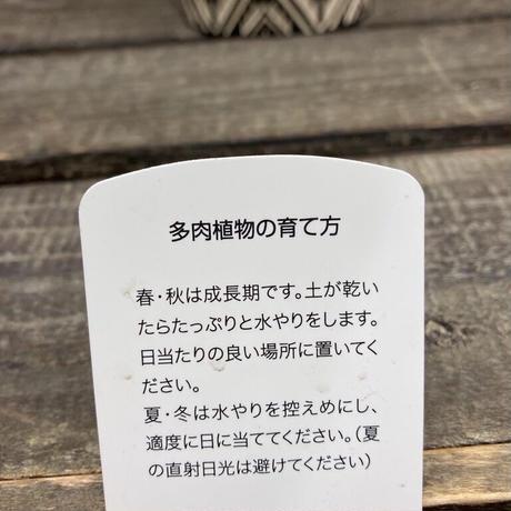 多肉プレリンゼ②
