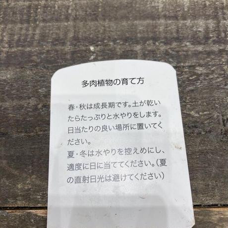 多肉マローム①