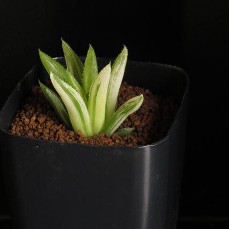 ハオルチア属 菊花の舞錦