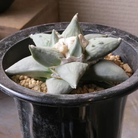 アリオカルプス属 花牡丹