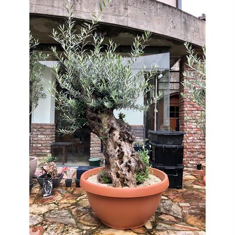 Import Old Olive no.180727-5 <Hojiblanca>