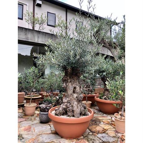 Import Old Olive no.180727-11 <Hojiblanca>